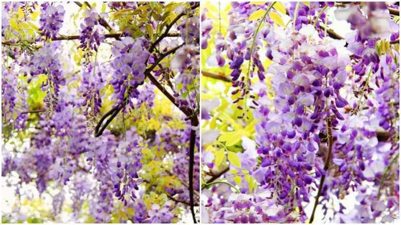 新北市淡水區 紫藤咖啡園34
