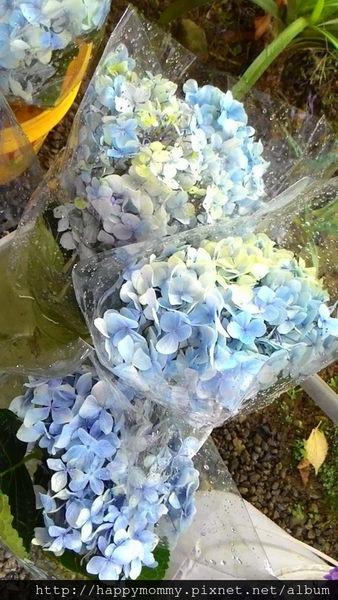 2015.06.14 陽明山竹子湖大梯田賞繡球花 (10).jpg