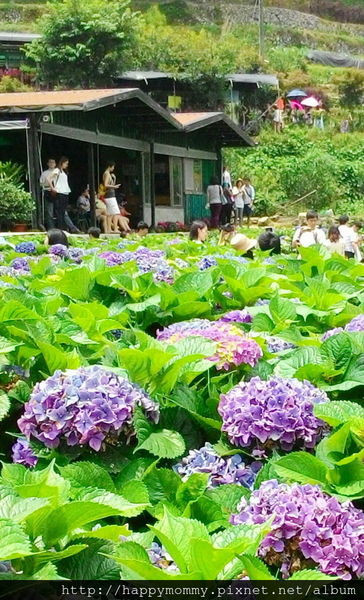 2015.06.14 陽明山竹子湖大梯田賞繡球花 (70).jpg