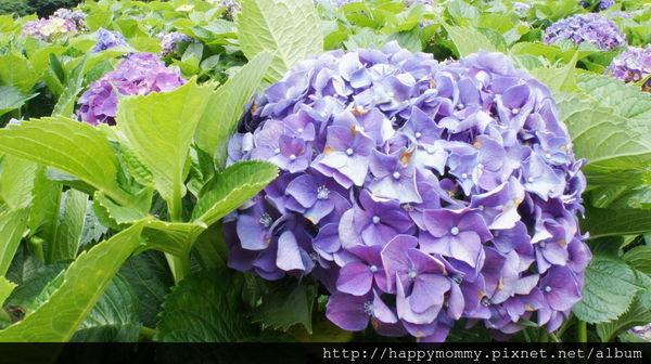 2015.06.14 陽明山竹子湖大梯田賞繡球花 (76).jpg