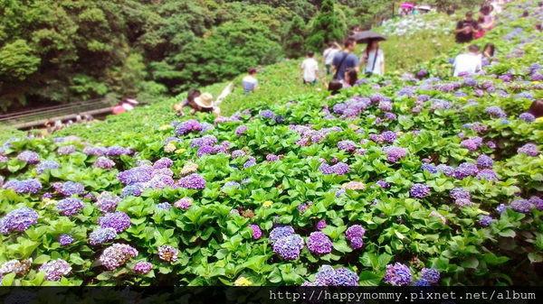 2015.06.14 陽明山竹子湖大梯田賞繡球花 (55).jpg