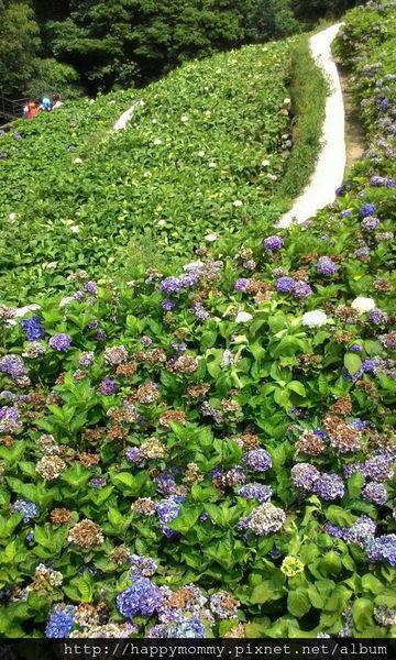 2015.06.14 陽明山竹子湖大梯田賞繡球花 (69).jpg