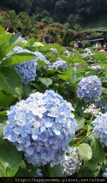 2015.06.14 陽明山竹子湖大梯田賞繡球花 (78).jpg