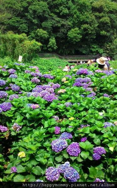 2015.06.14 陽明山竹子湖大梯田賞繡球花 (66).jpg