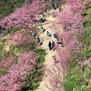 2020新北櫻花新秘境,三峽大熊櫻花林,漫步在櫻花隧道中~