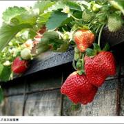 苗栗大湖幸福菓子高架草莓園。又大又紅三種品種草莓一次採