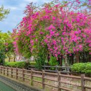 【台南景點】粉色浪漫!台南最綻放的兩棵九重葛花球,整個城市都是我的花園