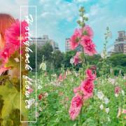 古亭河濱公園。台北蜀葵之森|6000朵蜀葵花河濱公園爛漫綻放