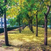 【旅遊】阿勃勒耀眼奪目!台南新營運動公園「黃金雨大道」美極了