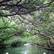 大台南必訪景點系列-安平區 四草綠色隧道:擁有台灣小亞馬遜河之稱的綠色隧道,必搭!竹筏遊四草濕地生態 - 進食的巨鼠