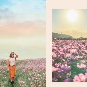 2020桃園花彩節 楊梅、大園、大溪展區交通花期懶人包  油畫般波斯菊花田