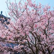 【台北-士林區】2021東方寺賞吉野櫻&路邊民宅紫藤花盛開
