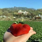 草莓季限定,苗栗大湖一等長宏原草莓園自採草莓大口吃