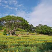 【桃園-龍潭區】2021大北坑休閒農業區魯冰花季