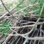 【台南慢旅】歲月將泥牆暈色,樹幹環抱,自然之氣在這永不減滅–安平樹屋–