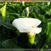 ▪ 彷彿在日本的鄉下賞花~陽明山竹子湖海芋