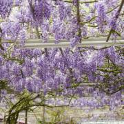 一年一次紫藤花與海芋共賞,雨天來賞花也沒問題!