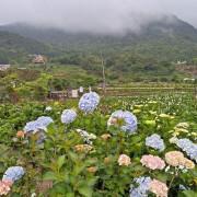 竹子湖~~「海芋」和「繡球花」爭妍鬥豔.如夢似幻的景色讓人擁有美麗心情