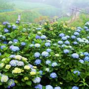 春末初夏亮麗的妝點--2016竹子湖繡球花季(2016年5月14日至6月26日)