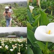 【新北景點】2020陽明山竹子湖花季,「芋望塵世」超美海芋季已經開始了呦,附上交通資訊