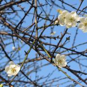 """""""逸仙公園"""":暗香浮動庭園間,經數朵梅花妝點後更出色的庭園之美"""