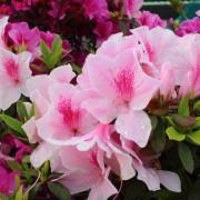 【捷運公館】欣賞杜鵑花不用上山~在市區就看的到囉!
