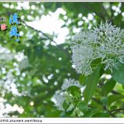 [賞花]【新店線公館站】台灣大學。賞四月雪流蘇花