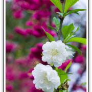 這樣的情人節禮物,木柵杏花林~浪漫