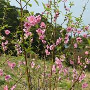 杏花林休閒農場~~在台北遇見世外桃源,粉嫩浪漫不輸櫻花