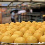 【新竹。新埔】雨中賞柿行。味衛佳柿餅觀光農場