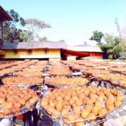【新竹新埔│景點】味衛佳柿餅觀光農場*九降風起 又到了紅柿的季節