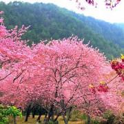(台中旅遊)「2021 武陵櫻花季」---漫天花影映武陵,花飛花舞舞春風!