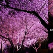 2021武陵農場夜櫻 ▶ 武陵農場夜櫻景觀 ▶ 紅粉佳人夜櫻 櫻花季限定夜櫻、武陵農場夜櫻時間及地點!