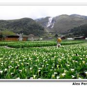 台北市-陽明山竹子湖賞海芋+青菜園