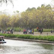 台南安平@落光光的億載金城風鈴木+台南公園羊蹄甲