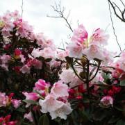 合歡山高山杜鵑花(小奇萊步道)2019年4月