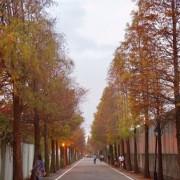 《桃園旅遊》冬季限定 大溪石園路 落羽松大道