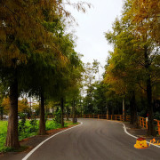 【桃園旅遊】大溪-S型浪漫賞松彎道《石園路落羽松大道》~冬季必訪景點