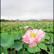 新北市.金山景點:金山磺清橋荷花池(6/29花況)~夏日限定