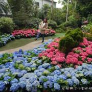 【苗栗景點】花露農場繡球花季  夢幻花牆拍到手軟  親子景點草坪放風