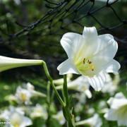 近距離與百合花及金針花接觸就在白石湖同心池