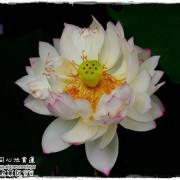 【台北◍•ᴗ•◍內湖】景點・白石湖同心池賞牡丹荷|幸福景點新風情,夏日蓮花盛開