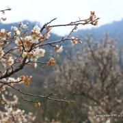 【南投‧仁愛】踏雪尋梅,賞梅新興景點西伯梅園