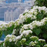 【新北-土城區】2021太極嶺&五城山賞桐花