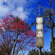 【新北-土城區】2018太極嶺櫻花盛開