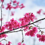 【遊記】台北石碇 二格山 初櫻綻放賞花喝咖啡 1/25花況