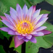 至德園(二之二)粉紅、藍、紫色睡蓮池中綻放,清幽卓越!