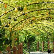【苗栗。造橋】250公尺金瓜隧道。童話風藝術裝置。龍昇社區金瓜藝術季登場