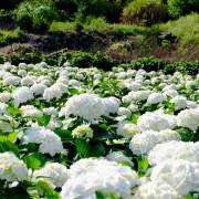 【台北-北投區】2018陽明山竹子湖繡球花季:大賞園欣賞純白繡球花