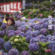 【台北/北投】2018陽明山繡球花季~大賞園